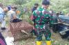 Masuk Perangkap, Harimau Sumatera Dibawa ke Lampung