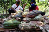 Kakao Edel PTPN XII Diminati Pasar Eropa
