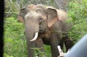 Gajah Liar yang Injak Petani di Muratara hingga Tewas Berasal dari Jambi