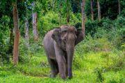 Gajah Liar yang Menewaskan Petani di Muratara Berasal dari Jambi
