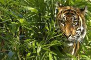 Habitat Terganggu, Harimau Sumatera Mangsa Sapi Warga di Langkat