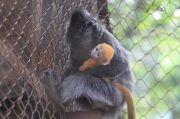 Si Remon yang Menggemaskan, Bayi Lutung Lahir di Kebun Binatang Bandung
