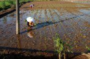 Produksi Pangan di Banjarnegara Tak Pernah Berhenti Meski Pandemi