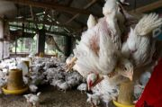 Ternak Ayam Belum Ditertibkan, Camat Tanjung Morawa Dianggap Penakut
