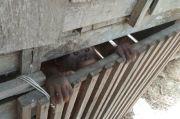 Bayi Orangutan Temuan Dirawat Warga 4 Bulan, Kini Diserahkan ke BKSDA