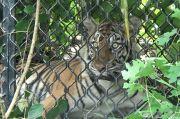 Diberi Umpan Kambing, Seekor Harimau Sumatera Masuk Perangkap BKSDA