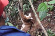 Kucing Emas Langka Terjerat Perangkap Babi Hutan di Agam