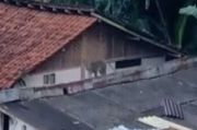 Gerombolan Monyet Kelaparan Jarah Makanan di Rumah Warga