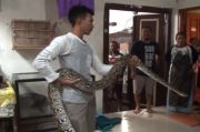 Bapak dan Anak di Mojokerto Nyaris Celaka saat Menangkap Ular Piton