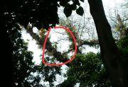 Aneh Tapi Nyata, Tanaman Pisang Tumbuh di Dahan Pohon dalam Makam