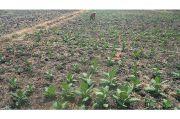 Kontribusi Para Petani Dinilai Cukup Signifikan di Tengah Pandemi Corona