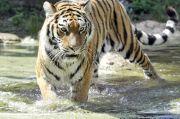 Perempuan Penjaga Bonbin Swiss Tewas Diterkam Harimau Siberia