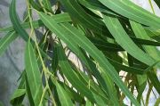Mengenal Eucalyptus, Pohon Kayu Putih yang Kaya Manfaat Kesehatan