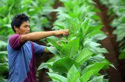 Petani Tembakau Tunggu Kepastian Serapan Pabrikan Jelang Panen