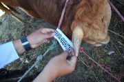 Catat! Lihat Sticker di Hewan Kurban Sebagai Bukti Kesehatan