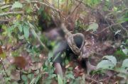 Berburu ke Hutan, Suku Anak Dalam Jambi Tewas Dililit Ular