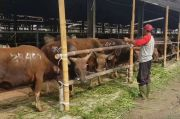 Potong Hewan Kurban, Ini Petunjuk Dari Disnak Jawa Timur