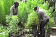 Aksi Polwan Cantik yang Obrak-Abrik 20 Hektare Ladang Ganja di Aceh