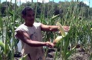 Puluhan Hektare Tanaman Jagung Dirusak Belalang Kembara, Petani Merugi