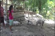 Diserang Virus ASF Ribuan Babi di Sumba Timur Mati
