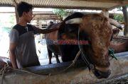 Sapi Seberat 1 Ton Milik Warga Kalbar dibeli Presiden Jokowi untuk Kurban