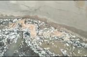 Ribuan Ikan Mati Membusuk di Sungai Petanang Musi Banyuasin