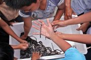 Cegah Populasi Turun, KKP Batasi Penangkapan Ikan Sidat