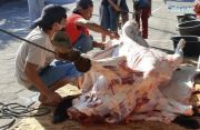 Ratusan Hewan Korban di Sleman Terkena Penyakit Cacing Hati