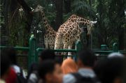 470 Pengunjung Berlibur ke Ragunan Setelah Idul Adha 2020