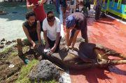 Kejati Maluku Utara Bagikan 2 Ton Daging Kurban pada Warga