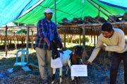 UIN Walisongo Sumbang Hewan Kurban ke Papua hingga NTT