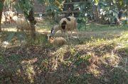 Bocah di Tangsel Menabung Beli Domba Kurban Berbobot 30 Kg