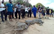 25 Ekor Penyu Langka Dilepasliarkan ke Pantai Kuta