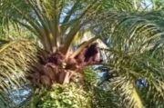 Asyik Nangkring di Pohon Sawit, Orangutan Jantan Ditembak