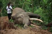 Tragis, Usai Hari Gajah Sedunia, Gajah Jinak di Aceh Tewas