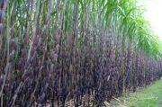 Investasi Pabrik Gula Bakal Manis Jika Bergandengan dengan Kebun Tebu