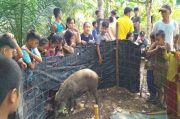 Aneh, Ada Babi Hutan Mewek di Depan Rumah Warga