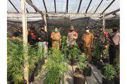 Sita Puluhan Tanaman Ganja, Polisi Bongkar Ladang Ganja di Ciledug