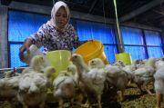 Harga Ayam Anjlok, Sekjen Gopan: Kami Minta Pemerintah Perhatikan Ini