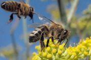 Racun Lebah Madu Dapat Bunuh Sel Kanker Payudara