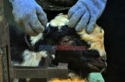 25 Ekor Kambing Hilang Digasak Maling, Warga Tambun Resah