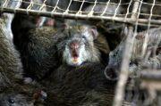 Covid-19 Hancurkan Ekonomi, Penduduk Malawi Makan Tikus