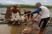 Usai Goreng Hiu, Nelayan di Muba Dapat Pari Seberat Dua Kuintal