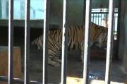 Baksi Harimau Sumatera Berekor Pendek dan Kurus Ini Faktanya