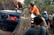 Pohon Asam Tumbang Renggut Jiwa Pengendara Minibus di Buleleng