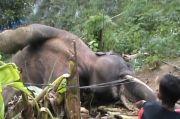 Sedih, Gajah di Aceh Mati Tersengat Listrik Perangkap Babi