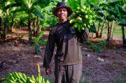 SIG Manfaatkan Lahan Pascatambang Tanah Liat di Tuban Jadi Kebun Pisang