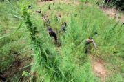 Polisi Temukan Ladang Ganja Siap Panen di Tanah Karo