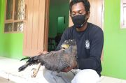Hewan Dilindungi Elang Bido Diselamatkan Komunitas Pecinta Rimba dan Satwa Liar