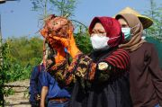 Asyiknya Panen Ketela Rambat Madu di Tengah Pandemi COVID-19